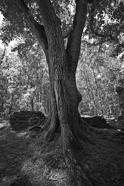 Great Falls Oak Tree