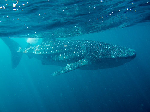 Whale Shark Dive Djibouti-51