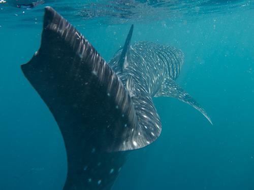 Whale Shark Dive Djibouti-76